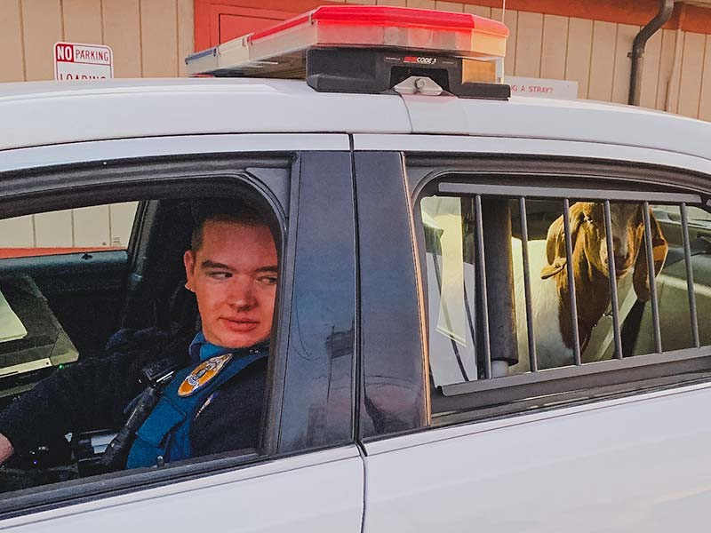 Brian Lemay in a Alaska State Troopers Car with a Goat in the back seat.